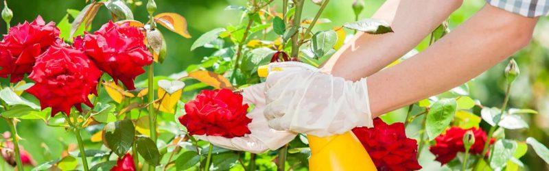 Ухаживаем за розами в саду летом, чтобы они цвели пышно и долго