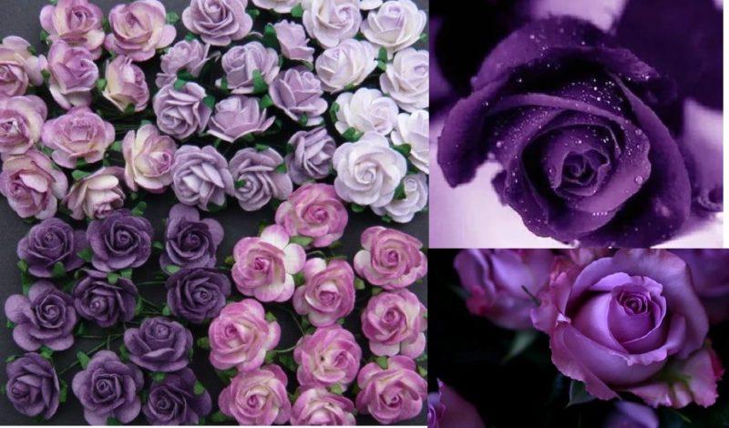 Как выращивать фиолетовые розы и какие сорта выбрать