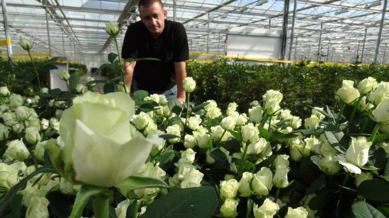 Лучшие зимостойкие сорта роз, цветущие всё лето и особенности их выращивания