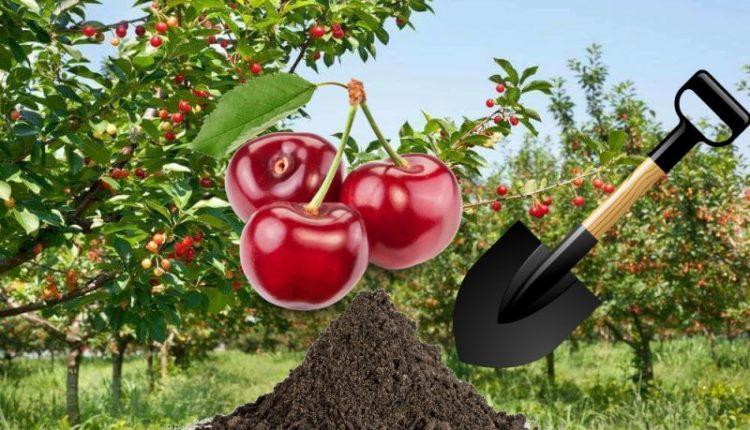Руководство по пересадке черешни летом для начинающих садоводов