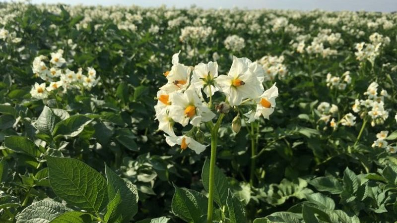 Причины засыхания ботвы и растет ли после этого картофель