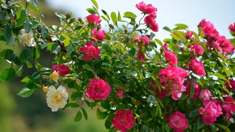 Инструкция для начинающих садоводов: как размножить плетистую розу черенками летом поэтапно