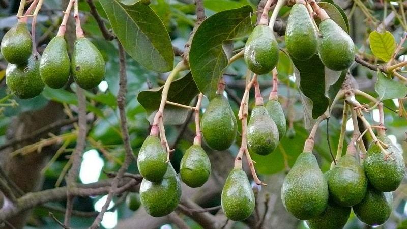 Плодоносит или нет авокадо, выращенное в домашних условиях