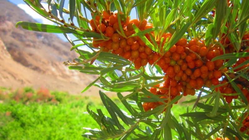 Как узнать, почему желтеют листья у облепихи летом и устранить причину проблемы