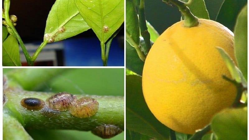 Почему на лимоне появились липкие пятна и что делать при этом