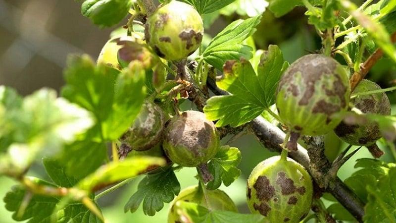 Почему у крыжовника осыпаются ягоды и листья и как с этим бороться