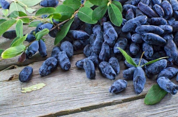 Как и чем подкормить жимолость после сбора урожая, как правильно вносить удобрения