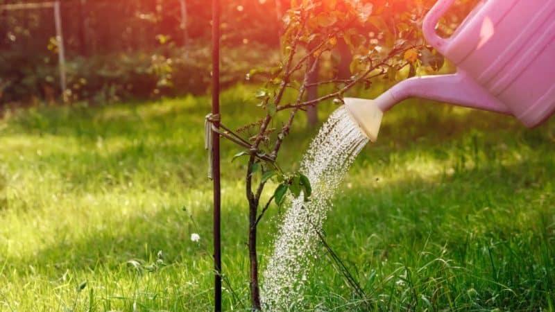 Когда, в каком количестве и как поливать яблони летом