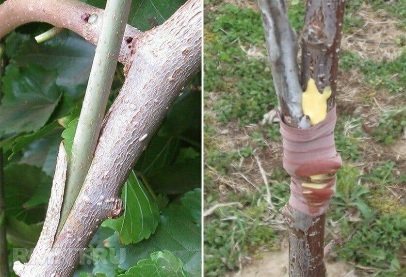 Инструктаж для садоводов: прививка яблони летом свежими ветками поэтапно разными способами