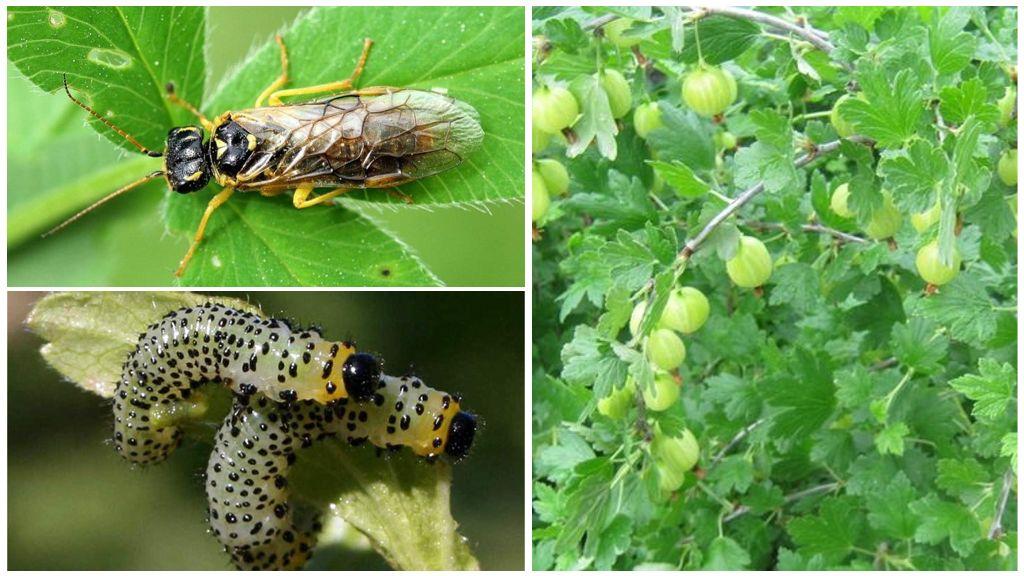 Опасный для урожая вредитель – крыжовниковый пилильщик и методы эффективной борьбы с ним