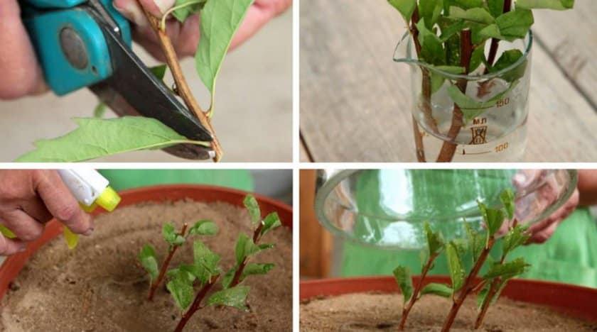 Размножение спиреи черенками летом для начинающих: способы укоренения и дальнейший действия