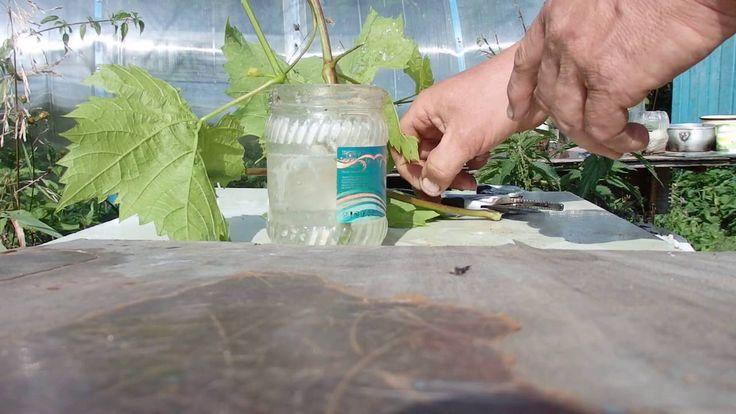 Руководство по размножению винограда зелеными черенками летом