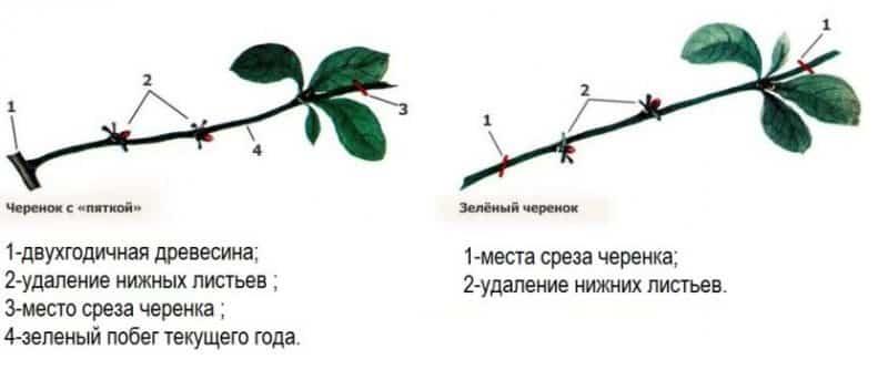 Пошаговая инструкция по черенкованию вишни летом своими руками