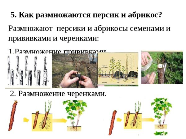 Способы размножения персика черенками летом: инструкции и полезные советы