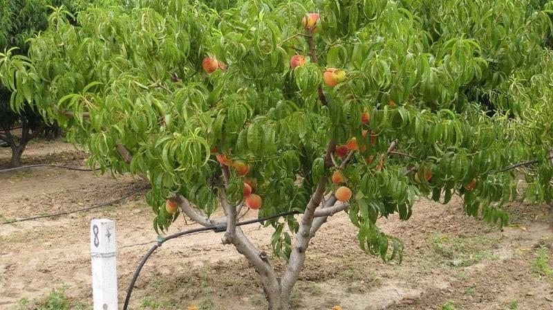 Руководство по правильному поливу персика летом для начинающих садоводов