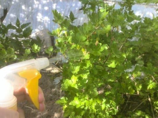 Как правильно применять соду от мучнистой росы на крыжовнике: рецепты и рекомендации по обработке