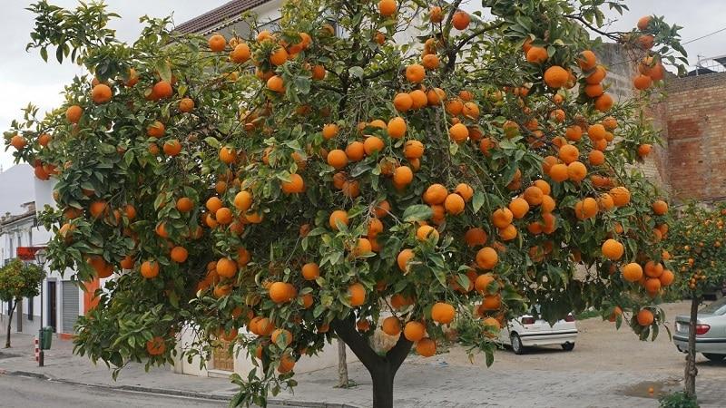 Сбор урожая цитрусовых: когда созревают апельсины в разных странах мира