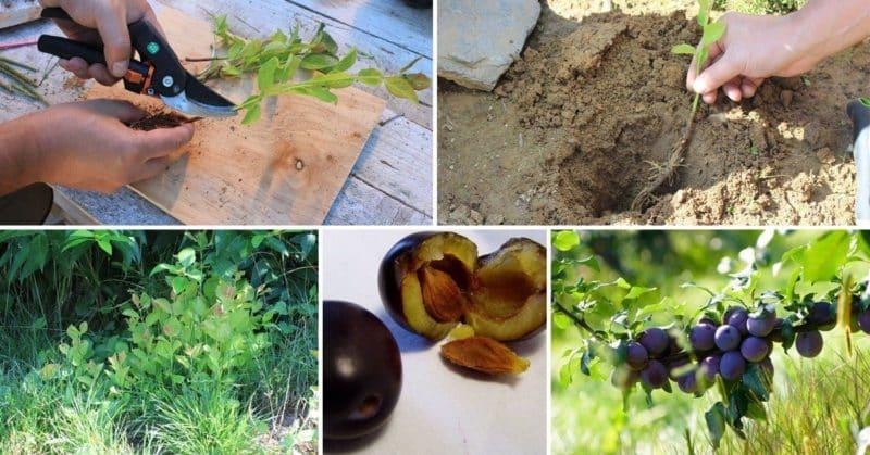 Инструкция по размножению сливы черенками летом: от подготовки черенков до ухода за саженцем