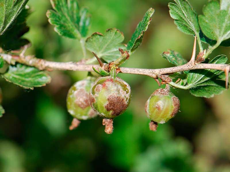 Почему ягоды крыжовника гниют на кусту и что с этим делать