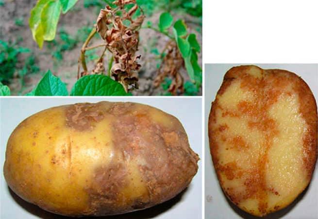 Сорт картофеля Ароза, способный расти даже в самых сложных климатических условиях