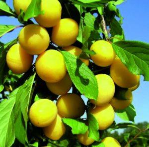 Правила размножения алычи черенками летом и этапы выращивания дерева из веточки