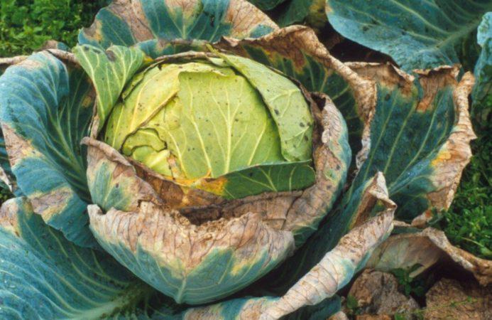 Болезни капусты: описание с фотографиями, способы лечения и профилактики