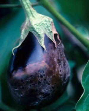 Лучшие способы лечения болезней баклажанов: фото и описание