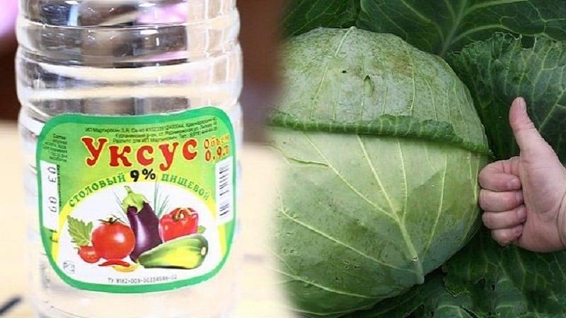 Как правильно использовать уксус для капусты от вредителей и насколько эффективно это средство