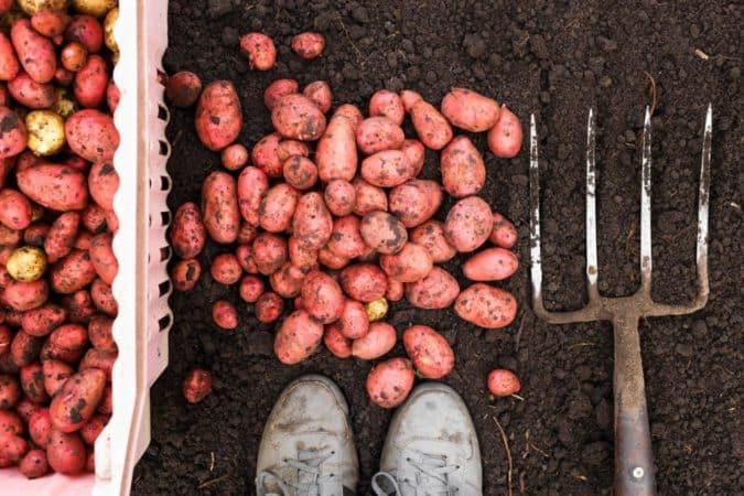 Чем хороши вилы для копки картофеля и как изготовить их своими руками