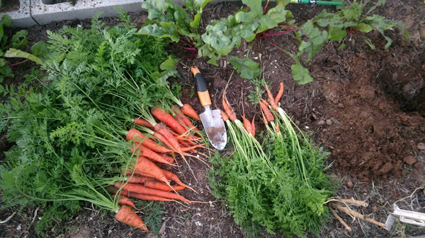 Оптимальные сроки уборки моркови на Урале