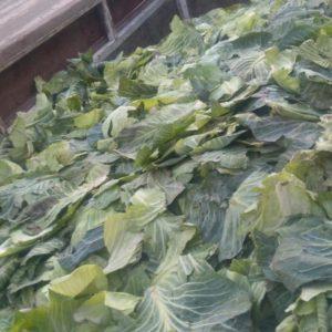 Советы, куда девать капустные листья после уборки капусты, и чем они могут быть полезны для огорода