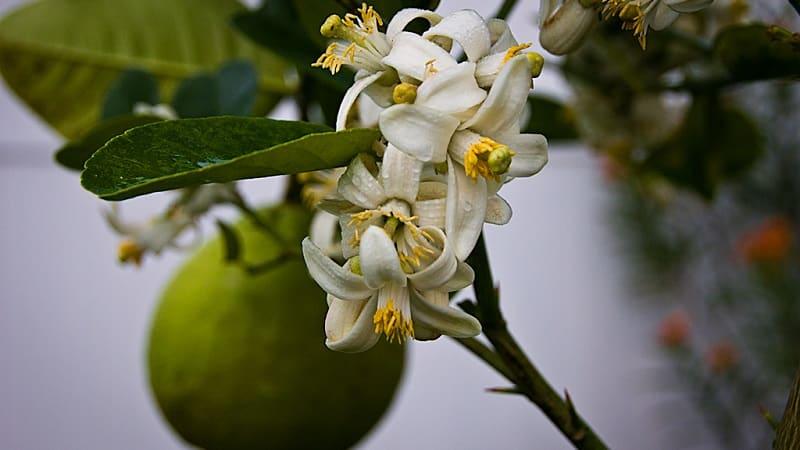 Когда начинает плодоносить лимон в домашних условиях