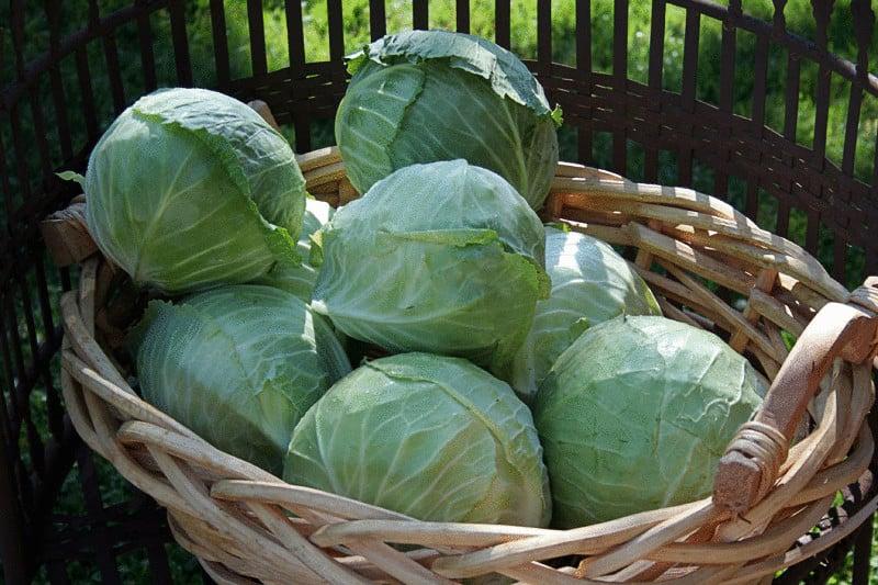 Когда и как убирать капусту с огорода
