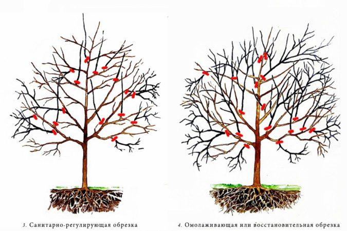 Как вырастить абрикос из косточки в домашних условиях и на даче