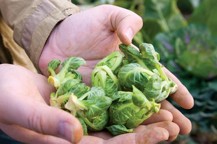 Когда и как собирать урожай брюссельской капусты