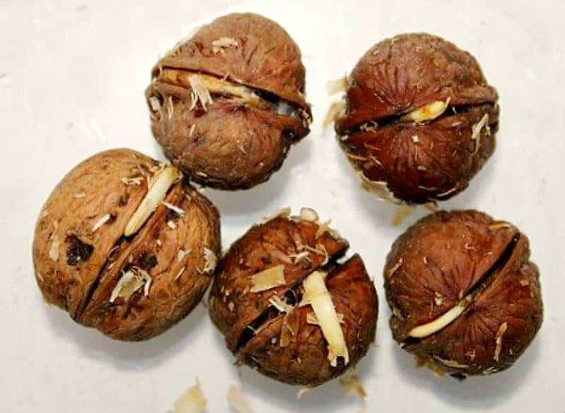 Как правильно прорастить грецкий орех в домашних условиях и пересадить его в грунт