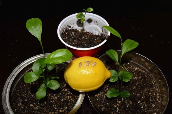 Земля для лимона, растущего в домашних условиях