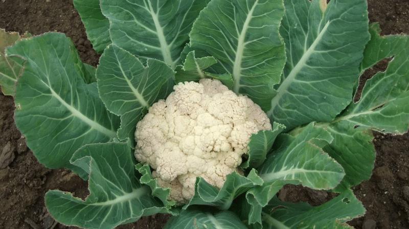 Боится ли мороза цветная капуста