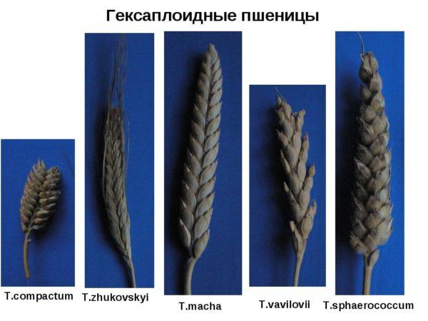 Какая бывает пшеница: характеристика видов и сортов