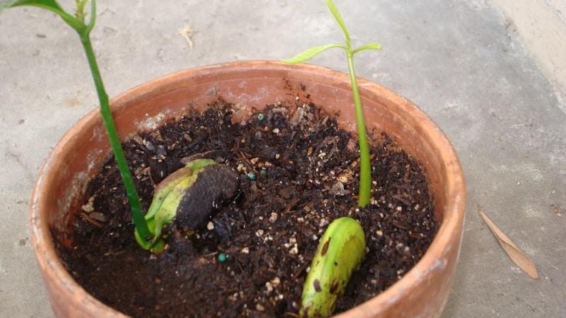 Как из косточки вырастить манго в домашних условиях