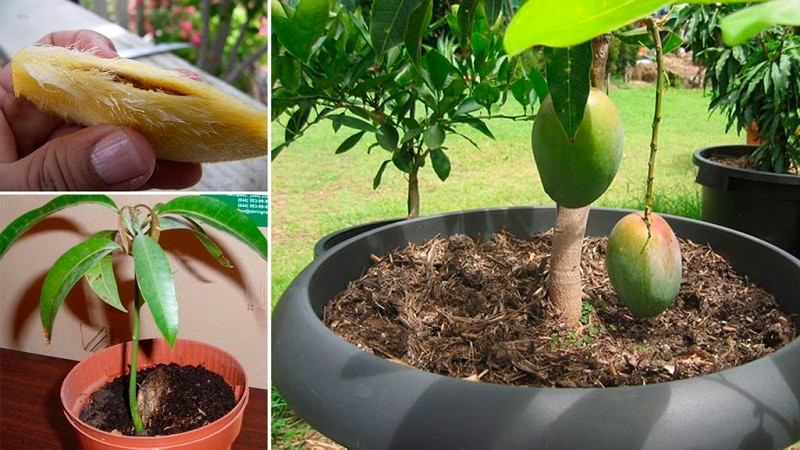 Подбираем грунт для манго в домашних условиях