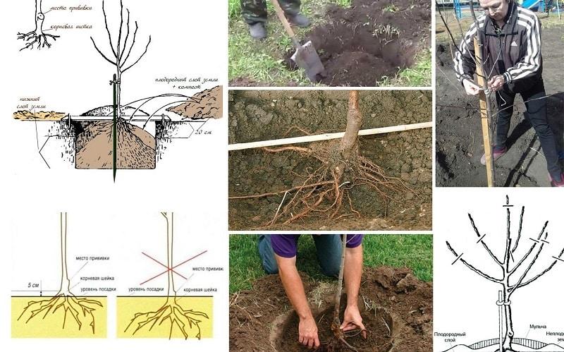 Инструкция для начинающих садоводов: как посадить яблоню осенью правильно