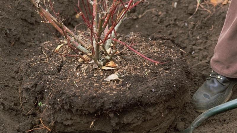 Как правильно пересадить калину осенью