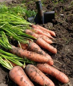 Как определить наилучшее время для уборки урожая моркови в Подмосковье