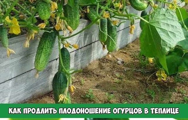 Как продлить плодоношение огурцов в теплице: эффективные лайфхаки от дачников со стажем
