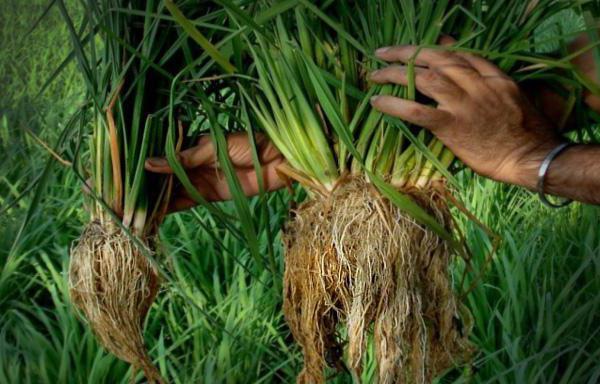 Всё о рисе: что такое рис и как он появился, интересные факты о растении из дальних стран