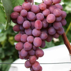 Калорийность винограда кишмиш и его полезные свойства для здоровья
