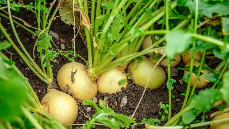 Руководство для начинающих фермеров: когда выкапывать репу и как хранить её правильно