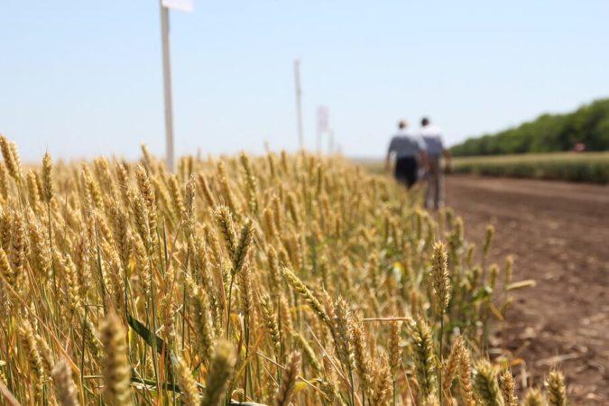 Что такое натура пшеницы, как она определяется и на что влияет