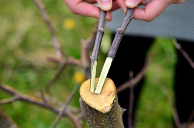 Как привить яблоню осенью и как правильно это сделать